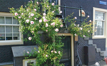 pink roses in pavement garden in amsterdam in summer