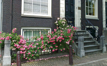 red roses in pavement garden in amsterdam in summer
