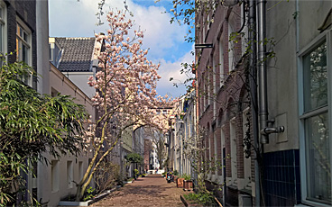 Magnolia in the Verversstraat, heart of old Amsterdam, on a busy Sunday afternoon in April