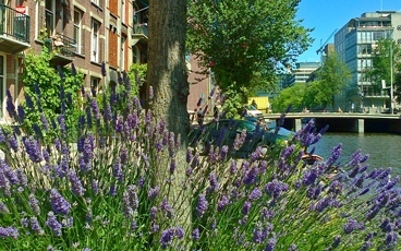 cushions of lavender in amsterdam in summer
